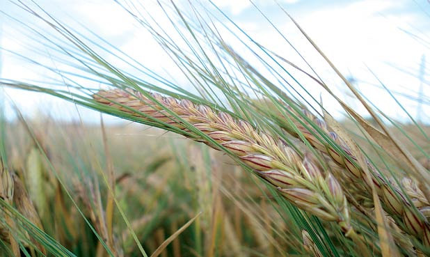 Barley growing in a field in Scotland.